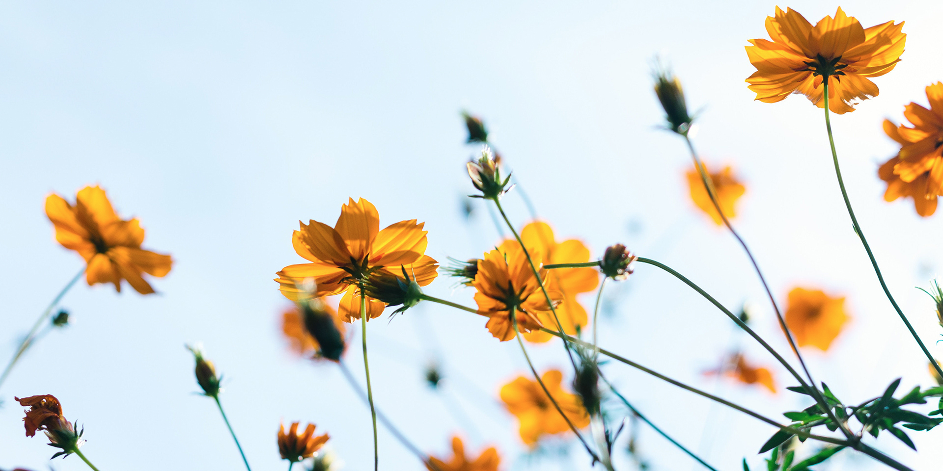 yellow-flowers-looking-up-to-a-blue-sky